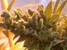 Cannabis-Produktion für deutschen Markt (Vorschaubild)