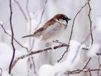 Spatz im Winter