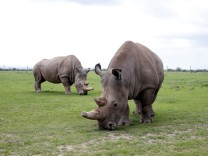 Najin and her daughter Patu, the last two northern white rhino females, graze in their enclosure at the Ol Pejeta Conservancy in Laikipia National Park