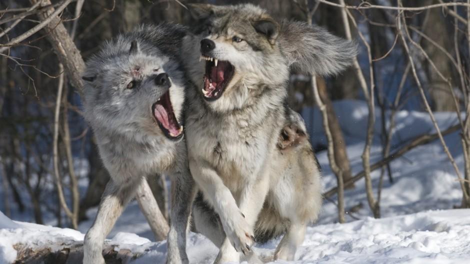 Wölfe in Kanada - Dort hinten geht\'s zum wilden Pack - Reise ...