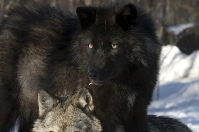Haliburton forest - Wölfe - für Ingrid Brunner Artikel