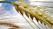 Getreide, Ähre, dpa