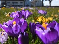 Krokus blühen am Bodensee
