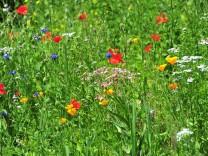 Wildblumenwiese Bayern Deutschland Europa ibxuta04038761 jpg