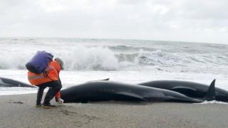 Dutzend Wale in Neuseeland gestrandet