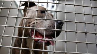 Staffordshire Bullterrier in einem Hamburger Tierheim - im Frühling 2018 kam es zu mehreren Beißattacken von Kampfhunden.
