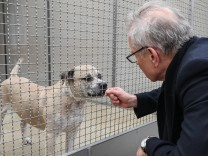 """9 04 2018 Niedersachsen Langenhagen Der Staffordshire Terrier Mischling ´Chico"""" steht in einem"""