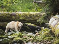 The Kermode Bear (Ursus americanus kermodei) along the coast of the Great Bear Rainforest, British Columbia, Canada