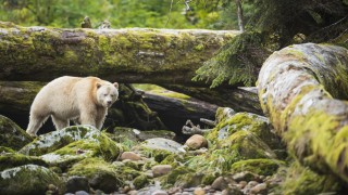 The Kermode Bear (Ursus americanus kermodei) along the coast of the Great Bear Rainforest, British Columbia, Canada