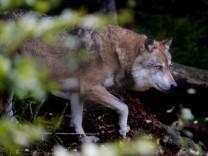 Wölfe im Herbst Wölfe Wölfe *** Wolves in autumn wolves wolves
