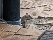 Juvenile brown rat Common rat Rattus norvegicus emerging from drainpipe on pavement PUBLICATIONx