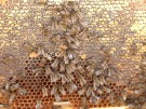 Es summt und brummt - die Bundestags-Bienen sind unterwegs (Vorschaubild)