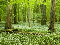 Rotbuchenwald Fagus sylvatica mit Totholz blühender Bärlauch Allium ursinum Nationalpark Haini