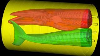 Computertomographie eines Zwergwals