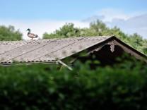 Erpel in einer Kleingartenanlage in München, 2017