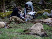 Mehrere tote Schafe