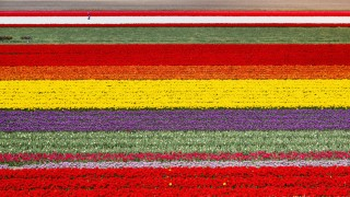Netherlands, Lisse, Fields of Tulips, Farmer at Work, Aerial
