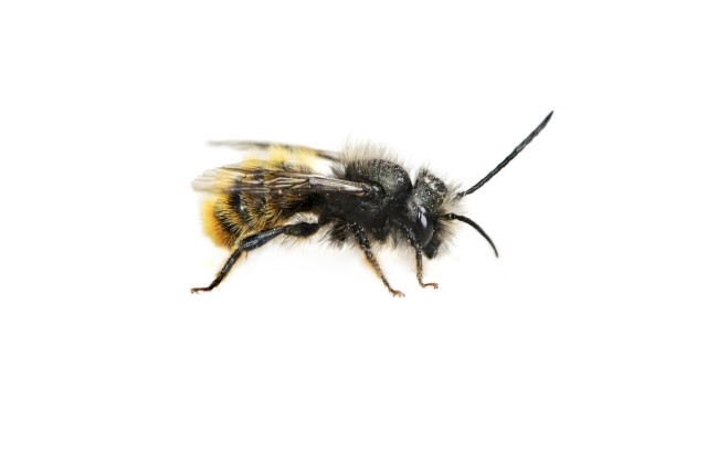 Rote Mauerbiene Osmia bicornis weißer Hintergrund Copyright imageBROKER GuenterxFischer ibxgva04; Bienen