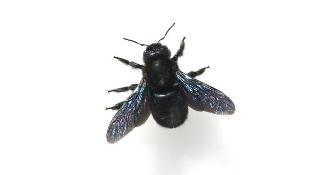 Holzbiene Xylocopa violacea Grosse Blaue Violette Wildbienen AUFNAHMEDATUM GESCHÄTZT; Bienen