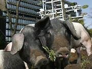 Schweine vor Patentamt, Reuters