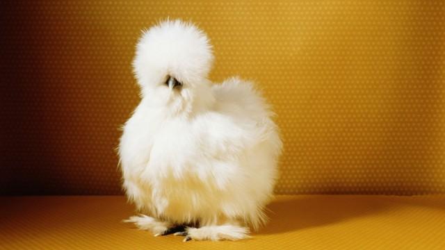 d6c31e9d3a0464 Hobby-Hühnerzüchter  Jeden Tag ein Ei