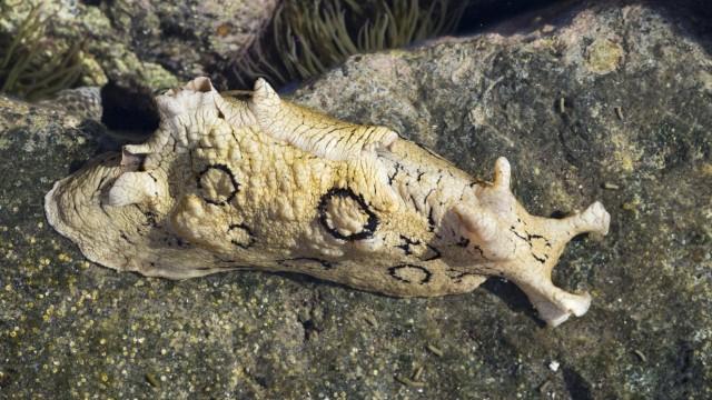 Geringelter Seehase Aplysia dactylomela Gezeitentümpel La Gomera Kanarische Inseln Kanaren Sp