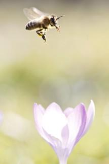 Frühlingsboten - Die Binene fliegen schon