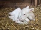 Rentieralarm: seltenes weißes Kälbchen geboren (Vorschaubild)