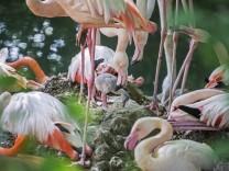 Im Tierpark Hellabrunn in München sind Flamingo-Küken geschlüpft.