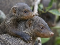 Banded mongoose Mungos mungo young riding on back of adult escort Queen Elizabeth National Park