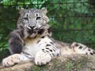 schneeleopard+jetzt