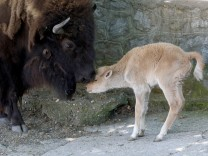 A recently born the rare white bison is seen in zoo in Belgrade