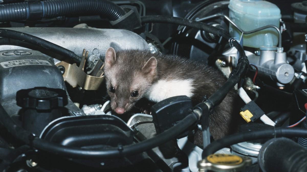Marder im Auto - So vertreiben Sie die Tiere