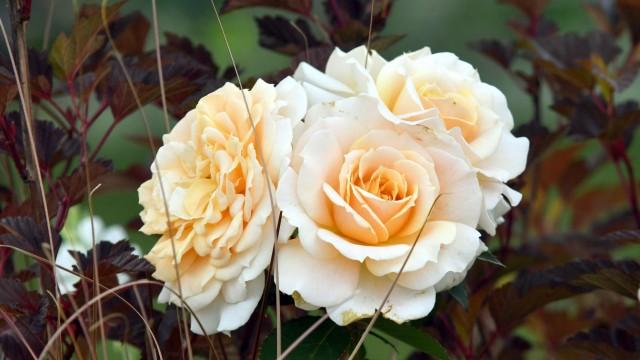 Erding Erdinger Weißbräu Rose