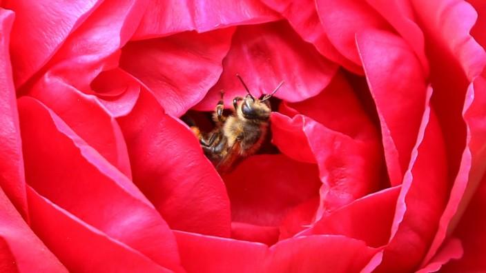 Biene krabbelt in einer Rose