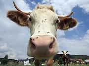 Kühe, Genmais, ddp