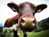 Kuh Schnauze Nase *** Cow snout nose PUBLICATIONxINxGERxSUIxAUTxONLY photocase_2197212