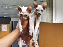 Zoll stoppt Reisende mit Nacktkatzen aus der Ukraine