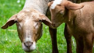 im Nürnberger Tiergarten steht das Rotkopfschaf Rosi mit seinem Lamm in seinem Gehege