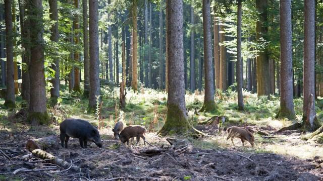Afrikanische Schweinepest Afrikanische Schweinepest