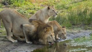 Löwen in Südafrika fressen mutmaßliche Nashorn-Wilderer