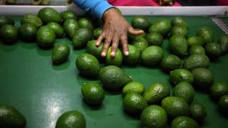 Avocados in einer Fabrik in Südafrika