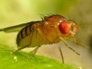 Fruchtfliege Drosophila Darwin