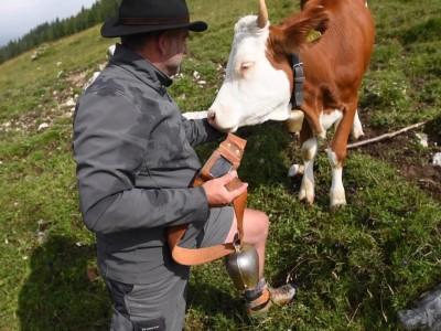 Elektronische Kuhglocken im Test in Oberbayern und Tirol