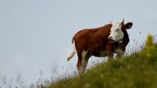 Eine Kuh steht auf einer bayerischen Alm-Wiese