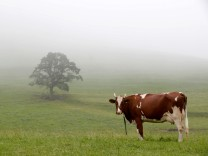 Cow stands on a meadow during foggy weather on Albispass