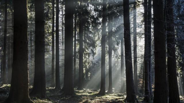 Sonnenstrahlen scheinen durch Baumstämme Fichtenwald Gegenlicht Dossenheim Baden Würtemberg Deu