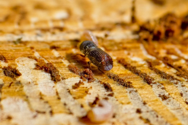 Kahlschlag bis der Käfer knurrt