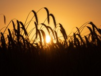 Sonne hinter Getreidefeld