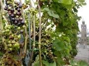 Deutscher Wein; dpa